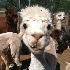 Alpacas are awesome.