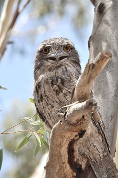 One of the Tawny Frog Mouths living in our trees...