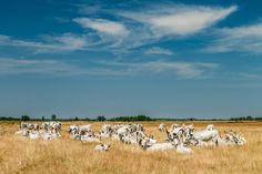 Gray Cattle Herd - Szürkemarhák