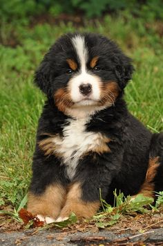 Most up-to-date No Cost bernese mountain dogs guys Thoughts : This Bernese Huge batch Canine is really a well-known huge canine breed. This has become the a number of varieties that will come from the Sennenhund-. Cute Dogs And Puppies, Baby Dogs, Pet Dogs, Doggies, Samoyed Dogs, Dogs Pitbull, Maltese Dogs, Beautiful Dogs, Animals Beautiful