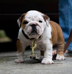 Bulldog   Spaying and Neutering Your English Bulldog
