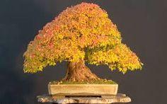 Image result for Bonsai