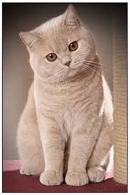 котки породи - Google Търсене