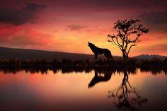 Fotografía The Wolf At Sunset por Jenny Woodward en 500px