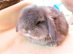 Mini Lop-Eared Bunny his grumpiness is adorable. Mini Lop Bunnies, Holland Lop Bunnies, Cute Baby Bunnies, Funny Bunnies, Cute Baby Animals, Funny Animals, Mini Lop Rabbit, Bunny Meme, Bunny Rabbits