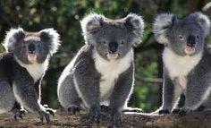 Risultati immagini per australia animali