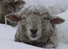 Another two day snowstorm. This sure is the winter of the snow. I think the sheep are pretty much ready for it to be over.    When I look at...