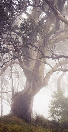 Eucalyptus Tree in mist.
