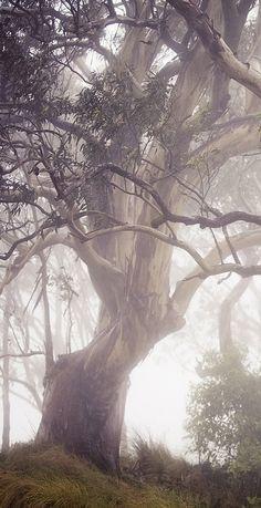 Eucalyptus in mist.