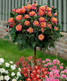 Another great find on #zulily! Tahiti Sunrise Rose Tree by Seedling & Sprout  #zulilyfinds
