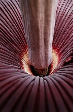 Monster corpse flower, the Titan Arum, is a stinking beauty - It's the world's largest and worst smelling flower. Source: News Limited Titan Arum, Corpse Flower, Smelling Flowers, Large Flowers, Cosmic, Earthy, Hue, Shades, News