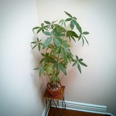 May 2015 - money tree is doing well. May 12, Money Trees, House Plants, Planting Flowers, Journal, Instagram Posts, Indoor House Plants, Foliage Plants, Houseplants
