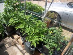 Super Growth In 4 Weeks! Ray Dunnett's Tomatoes have come a long way in just 4 weeks in his Quadgrow Planter. Thanks to the Quadgrow's SmartReservoir, Ray's tomato plants roots can take water up as and when they need it, meaning his plants will grow stronger and healthier because there's no risk of erratic watering which can often cause root rot, split fruit and blossom end rot!