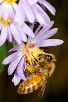 Aster Honeybee