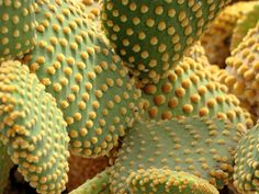 Polka dot cactus? I want to plant this everywhere.