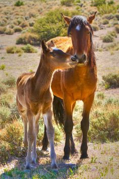 "☀Wild Horses  Cold Creek, Nevada ~ ""Nuzzling"" by James Marvin Phelps"