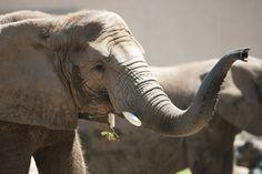African elephants at Seneca Park Zoo, Rochester, NY
