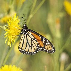 """""""Portrait of a Monarch"""" photo by Penny Meyers.  Fine Art Prints and Greeting Cards."""