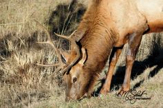Elk Evergreen Colorado Dec2014-0765 by MSchmidtPhotography.deviantart.com on @DeviantArt