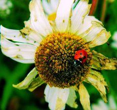 Daisy and the ladybird