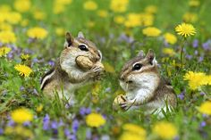 Bountiful Generosity by Christina Rollo © www.rollosphotos.com. Two cute Eastern Chipmunks (Tamias striatus), sitting in green grass surrounded by purple and yellow flowers sharing peanuts.