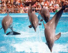 20 Places to visit in Dubai - Dubai Dolphinarium: Dubai Dolphinarium is the first fully air-conditioned indoor dolphinarium in the Middle East, providing habitat to dolphins and seals, allowing the public to watch and interact with them through live shows and photo sessions. It is located in the creek side park at Bur Dubai near the Childrens City. Dubai Dolphinarium was opened on May 21, 2008 by Dubai Municipality, and is sponsored and supported by Dubai government to provide the general ...