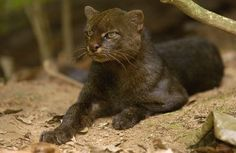 Jaguarundi or eyra is a small wild cat native to southern North America and South America. One of the most unusual of the New World cat species, being somewhat weasel-like in appearance. The body is long and slender, with short legs, a small, flattened head, short, rounded ears, and a long tail.
