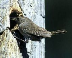 HOW TO attracks WRENS to your yard/garden.  They are great INSECT EATERS!