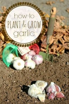 How to Plant and Grow Garlic from http://FrugalLivingNW.com -- NOW is the time to plant garlic for next summer's harvest. Super easy and almost no maintenance!