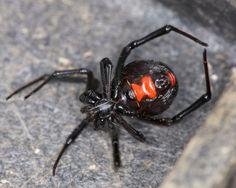 big mama edderkop