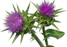 What Is Milk Thistle? Learn abotu milk thistle and how you can use it to do a detox now! Is milk thistle enough? Is it safe and effective? Find the answers here! Natural Remedies For Gerd, Natural Cures, Natural Treatments, Skin Treatments, Milk Thistle Liver Detox, What Is Milk, Cure For Heartburn, Natural Detox, Healthy Environment