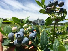 Planting blueberries is easy with blueberry plants direct from long-time blueberry growers like the DiMeo family. Call: (609) 561-5905 to get a quote on blueberry bushes shipped direct to your door for less.