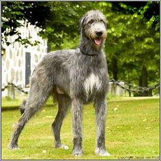 Image result for Irish Wolfhound