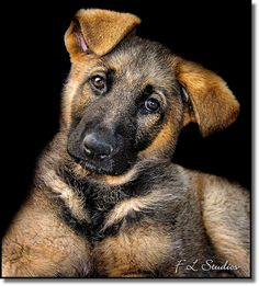 Love the puppy ears...and the German Shepherd head-tilt. :) They all do it!