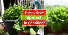 Learn how to spinach in pots, it is one of the vegetables that you can grow in some shade and in any kind of space. Growing spinach in containers is easy too, you can even grow it indoors on a windowsill.