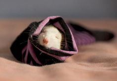 The Cutest Rat Photos You've Never Seen   Incredible Things