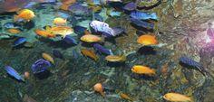 Cuidado con tus peces, podrían estar en peligro de extinción - http://www.depeces.com/cuidado-con-tus-peces-podrian-estar-en-peligro-de-extincion.html