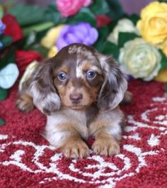"""Receive fantastic ideas on """"dachshund pups"""". They are accessible for you on our web site. Dapple Dachshund Puppy, Dachshund Funny, Dachshund Puppies For Sale, Dachshund Quotes, Baby Dachshund, Long Haired Dachshund, Cute Dogs And Puppies, Doggies, Chihuahua Dogs"""
