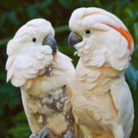 Moluccan Cockatoo at Los Angeles Zoo Los Angeles, CA #Kids #Events