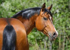 Stallion of Ukrainian riding breed by Kseniya Rimskaya on 500px