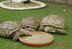 Sulcata Tortoise Care Information Best info! Tortoise Food, Tortoise Habitat, Turtle Habitat, Baby Tortoise, Sulcata Tortoise, Tortoise Care, Giant Tortoise, Tortoise Turtle, Tortoise House