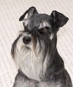Every animals has significance in this world as well as something powerful to teach us. This page is all about the Miniature Schnauzer. Standard Schnauzer, Giant Schnauzer, Miniature Schnauzer, Schnauzer Gigante, Raza Schnauzer, Schnauzer Dogs, Schnauzer Grooming, Schnauzers, Dog Bearding
