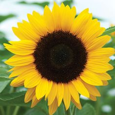 Sunrich Orange Summer - Holmes Seed Company How should the right shoe choice be? What should be considered for foot health? All Flowers, Yellow Flowers, Beautiful Flowers, Flowers Nature, Summer Flowers, Annual Flowers, Happy Flowers, Beautiful People, Sunflower Photography