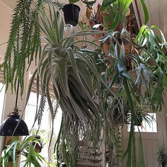 ゆう @kebint Instagram photos | Websta ストラミネア Cactus, Staghorn Fern, Air Plants, Ferns, House Plants, Indoor Outdoor, Succulents, Gardening, Patio