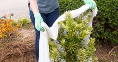 Four ways to protect your shrubs in a cold snap - Read more from Southern Living Plants Spring Plants, Evergreen Shrubs, Garden Care, Autumn Garden, Water Plants, How To Level Ground, Plant Care, Southern Living, Garden Planning