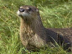 #Amazing: North #American River Otter