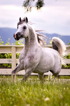 Silverado VO 2004 Purebred Grey Arabian Stallion (Enzo x Eskalona by *Salon) Valley Oak Arabians