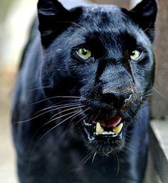 https://www.google.com.br/search?q=animais negros