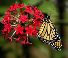To attract the maximum number of butterflies to your yard, make sure you provide a selection of both nectar plants and host plants in your garden.