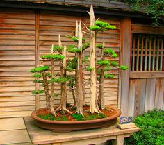 31 Gorgeous Bonsai Trees That Will Beautify Your Garden And Your Home